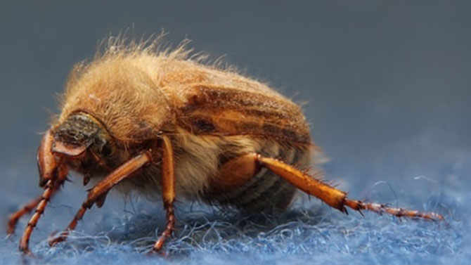 carpet beetle pests