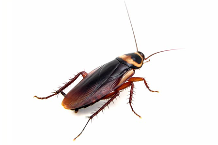 Cockroaches Pests