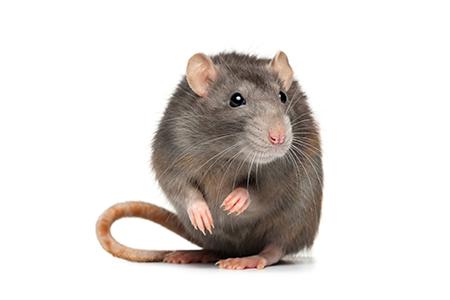 Rats Pests