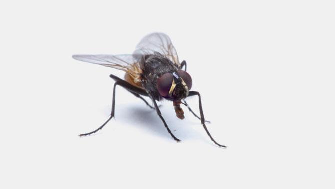 Flies Control Brisbane