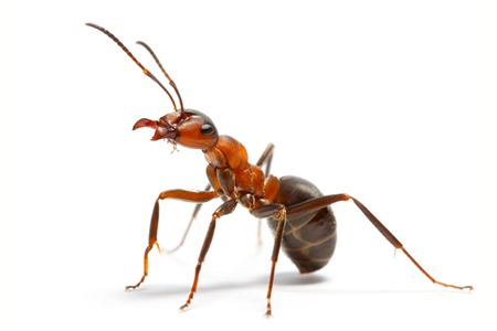 Brown Ants Pest