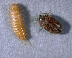 Carpet beetle Treatment and Removal Brisbane | All Bugs