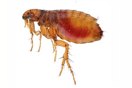 Fleas Pests