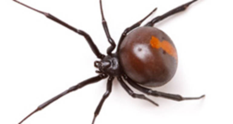 What You Need to Know About Redback Spiders