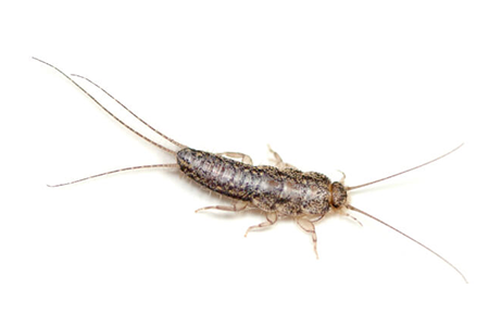 Silverfish Pests