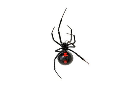 Spiders Pest