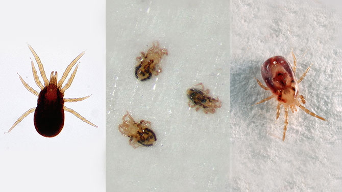 Lice And Mite Treatment And Removal Brisbane All Bugsw