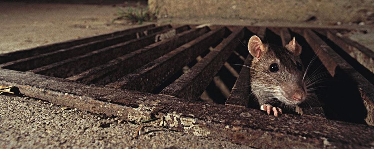 Rodent Control Company Brisbane