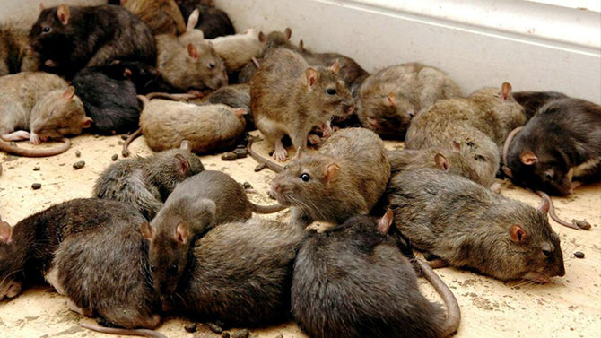 Rodent Treatment Brisbane