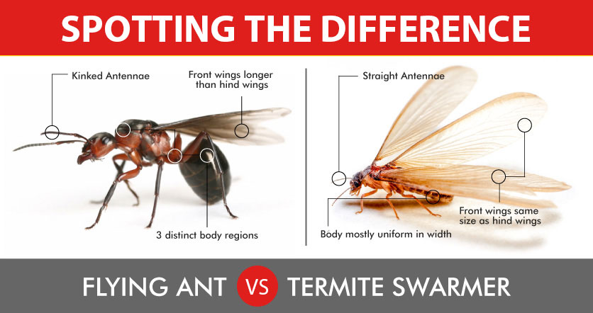 How to Tell the Difference Between Ants and Termites With Wings
