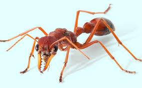 Bull Ants controls