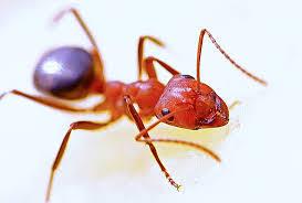 Fire Ants controls