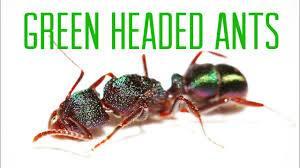 Green Head Ants controls