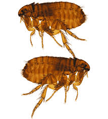 How to Effectively Get Rid of Fleas in Your Home