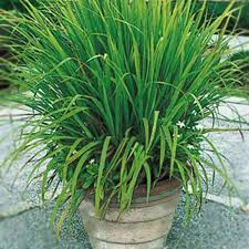 Grow Mosquito repellent plants
