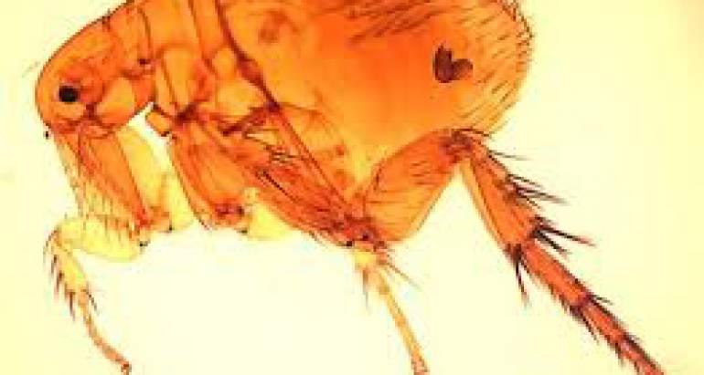 Flea Diseases You Need to Watch Out For