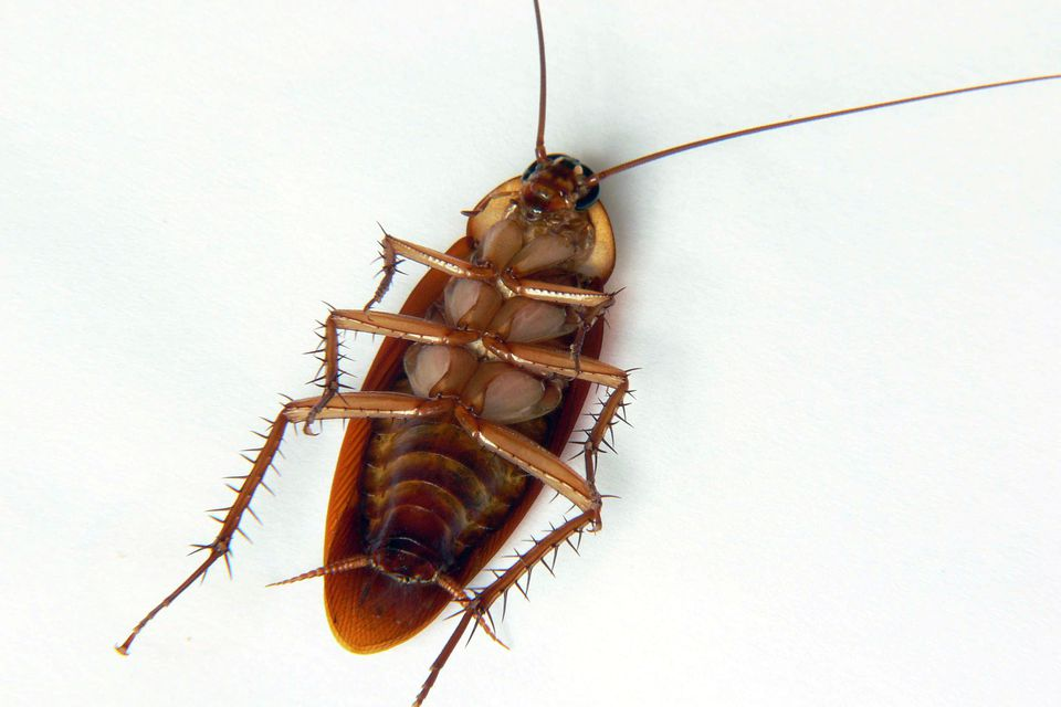 How to Identify Different Types of Cockroach Species