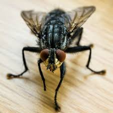Adult housefly control
