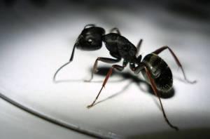 Black house ant pest control