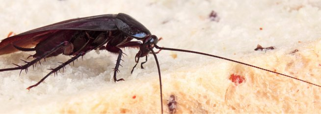 Signs you have a Cockroach Infestation – and what to do about it
