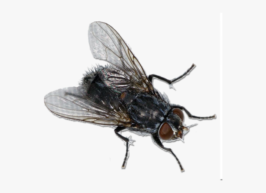 The Life Cycle of a Housefly: From Eggs and Maggots to Adulthood