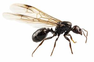 Flying ants control services