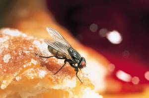House Fly -spreading Disease