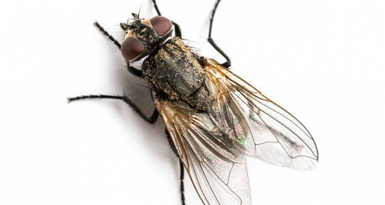 What You Need to Know About the Different Fly Species in Australia