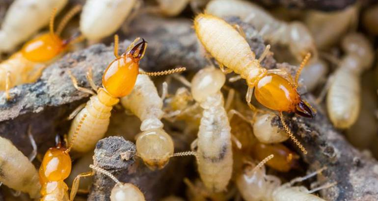 What to Do If Your Neighbours Have Termites