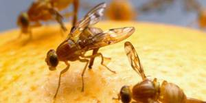 Fruit Flies Pest Experts