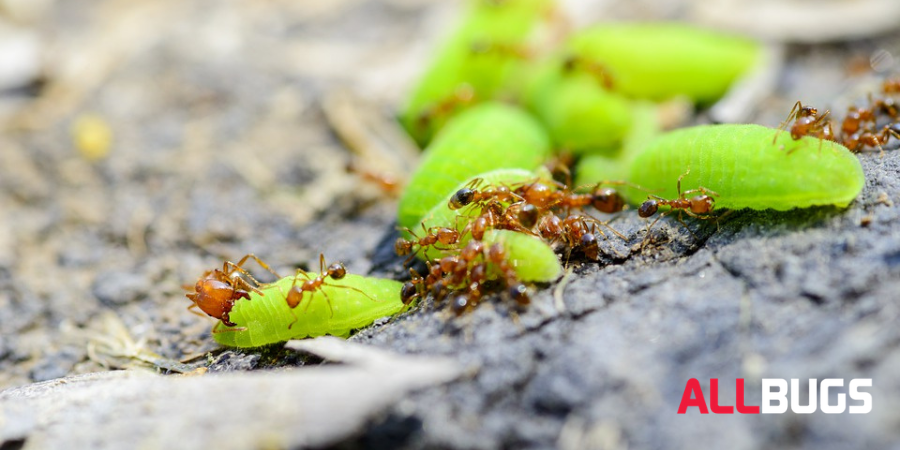 How to Effectively Get Rid of Fire Ants