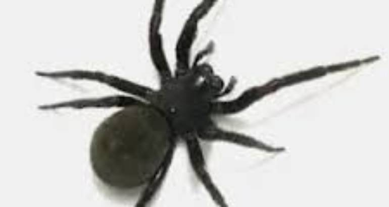 Black House Spiders and Their Safe Removal