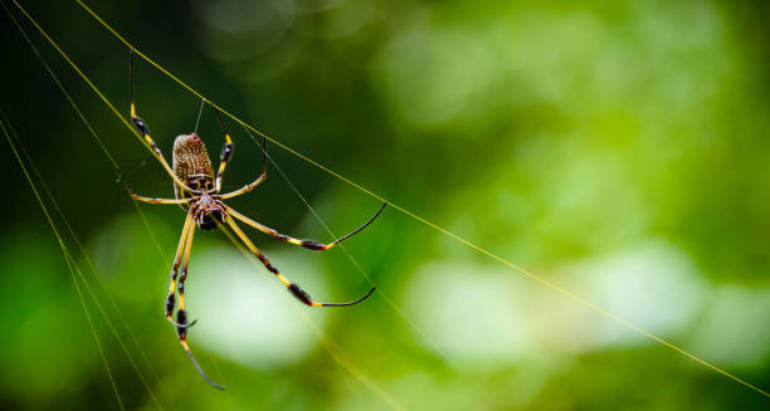 Are Golden Orb Weavers Actually Dangerous?