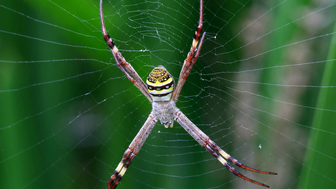 St Andrews Cross Spiders: X Marks the Spot